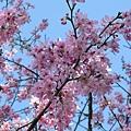 迷路狀態下還是繼續拍山櫻花 5
