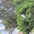 醉月湖畔不知名的大鳥 4