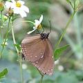 超大隻蝴蝶1