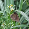 超大隻蝴蝶2