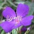 不明花朵2-1