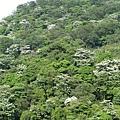 山上的桐花1