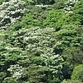 山上的桐花2