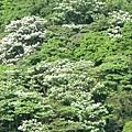 山上的桐花3
