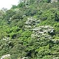山上的桐花5