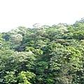 山上的桐花9