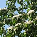 樹上的桐花1
