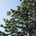 樹上的桐花2