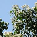 樹上的桐花3