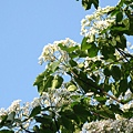 樹上的桐花4