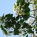 樹上的桐花5