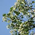樹上的桐花6