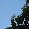樹上的桐花7