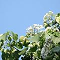 樹上的桐花8
