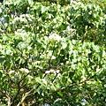 樹上的桐花9