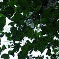 樹上的桐花10