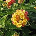 不明花朵4-1