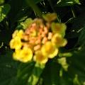 不明花朵4-2