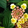 不明花朵4-3