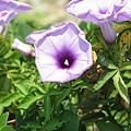 關渡站外的花