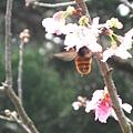 蜜蜂採蜜 1