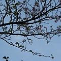 十分稀疏的櫻花(粉紅) 1