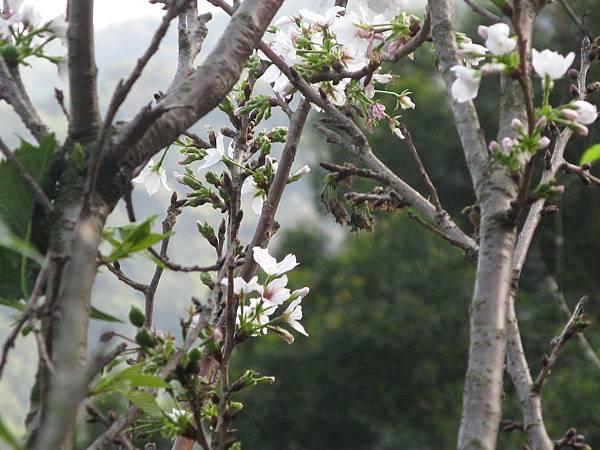 十分稀疏的櫻花(白) 2