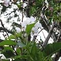 運動設施旁的櫻花 2