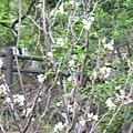 運動設施旁的櫻花 4