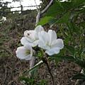 運動設施旁的櫻花 8