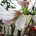 運動設施旁的櫻花 12