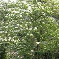 在平溪菁桐間道路旁找到距離最近的一棵桐花樹