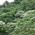 遠處山上桐花 1