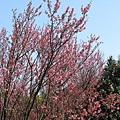 第二停車場附近的山櫻花 9