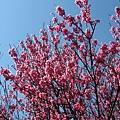 第二停車場附近的山櫻花 8