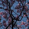 迷路狀態下還是繼續拍山櫻花 4