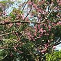 迷路狀態下還是繼續拍山櫻花 3