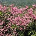 第二停車場旁步道附近的山櫻花 4