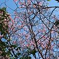 迷路狀態下還是繼續拍山櫻花 2