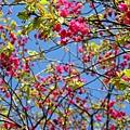 第二停車場附近的山櫻花 6