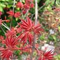 台灣掌葉槭 1