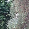 醉月湖畔不知名的大鳥 1