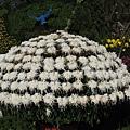 種成傘狀的白色菊花 2