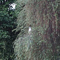 醉月湖畔不知名的大鳥 2