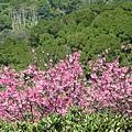 第二停車場旁步道附近的山櫻花 3