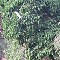 醉月湖畔不知名的大鳥 3