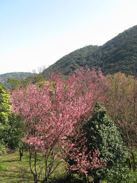 第二停車場旁步道附近的山櫻花 1