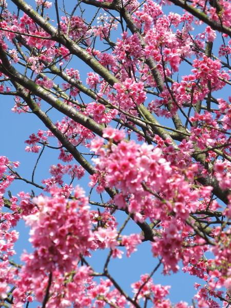 應該是遊客中心前的那棵山櫻花