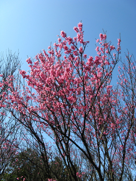 第二停車場附近的山櫻花 7