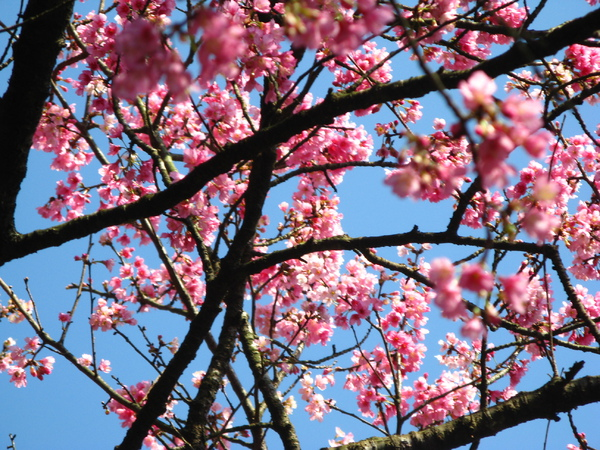 公園某處的山櫻花
